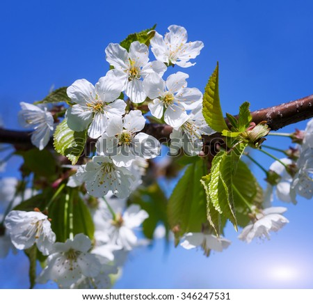 Cherry blossoms on a spring day - stock photo