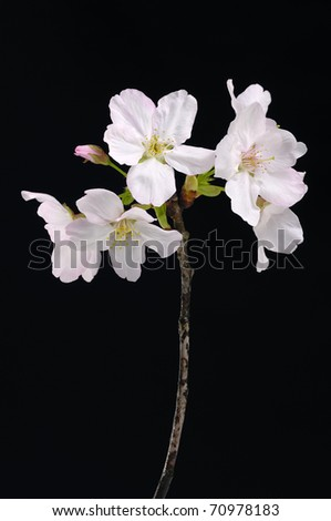 Cherry Blossoms on black background - stock photo