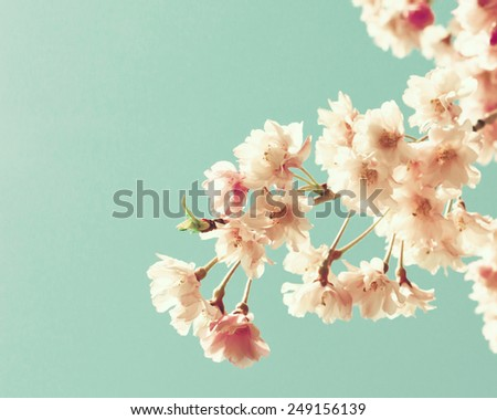 Cherry blossoms on mint  - stock photo