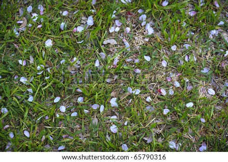Cherry blossoms on the ground - stock photo