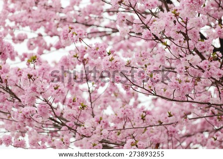 cherry Blossoms or Pink Sakura for soft color flower background.