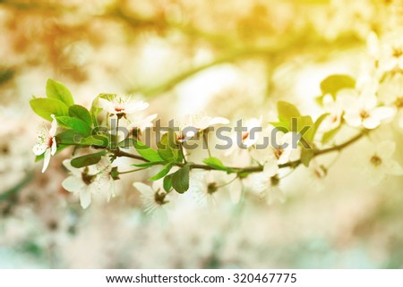Cherry blossoms over blurred nature background, close up - stock photo
