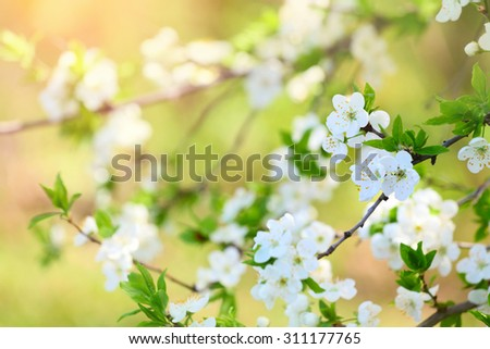 Cherry blossoms spring flowers. Nature background in selective focus - stock photo