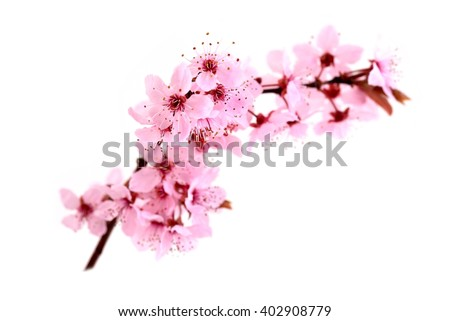 Cherry Blossoms, spring pink flowers.