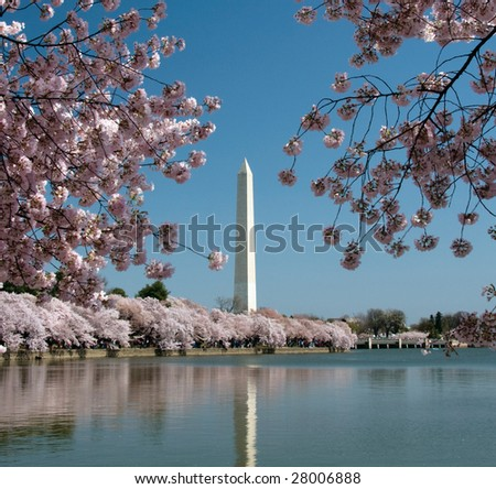 Cherry Blossoms surrounding Washington Monument and reflected in Tidal Basin - stock photo