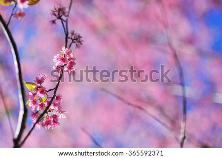 Cherry blossoms,Thailand sakura  in ChiangMai, Thailand - stock photo