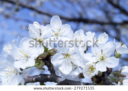 cherry blossoms, white flowers on the tree. - stock photo