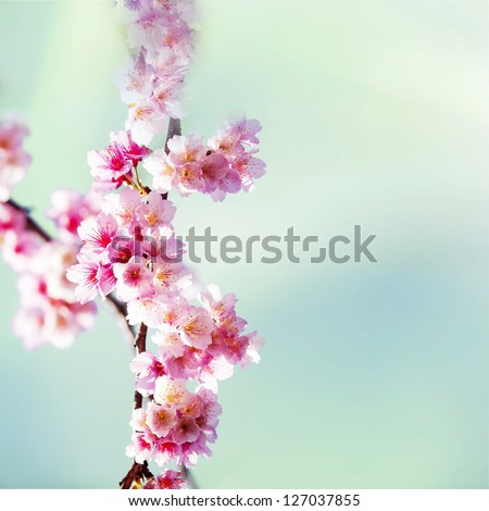 Cherry blossoms with nice background color for adv or others purpose ...