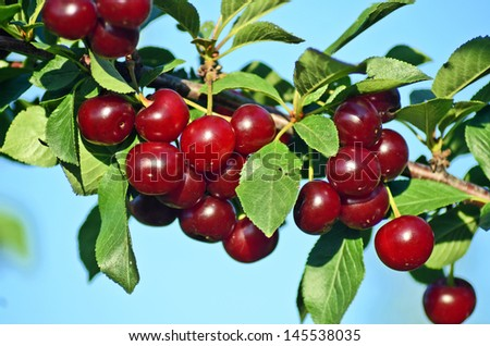 Cherry Branch - stock photo