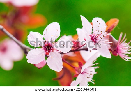 Cherry branch in spring