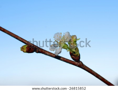 Cherry branch with bud and flower