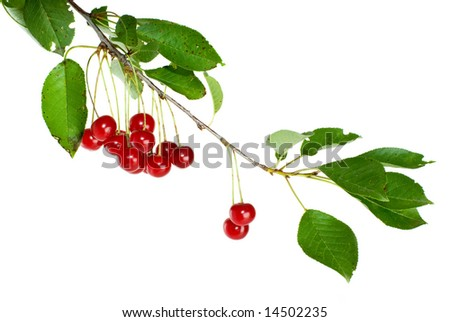 Cherry branch with leaves and few berries isolated on the white background - stock photo