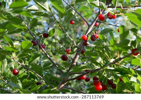 Cherry branch with ripe fruits