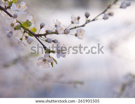 Cherry buds on a bush. Cherry bud twig. White flowers.Spring, Easter. Summertime. Macro perspective .blooming, blossom. Nobody. - stock photo