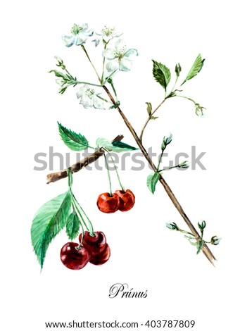 Cherry. Collection herb. Watercolor hand drawn illustration. Botanical illustration