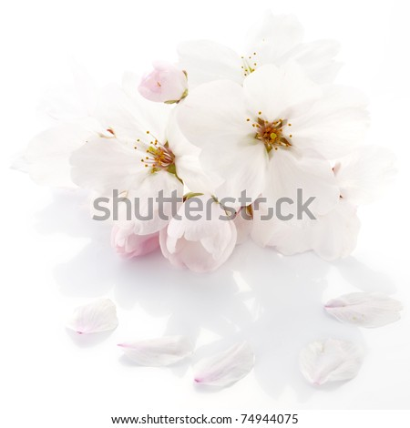 Cherry flower - stock photo