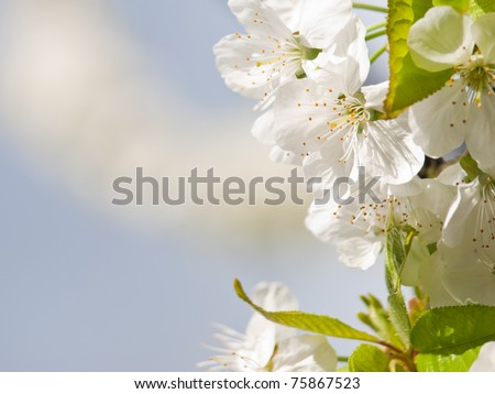 cherry flower background