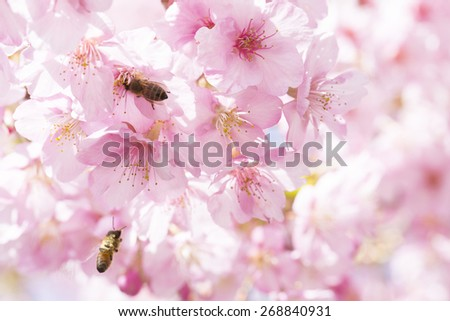 Cherry, flower, bee - stock photo