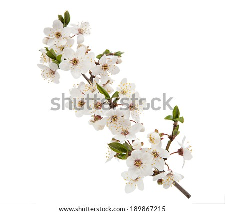 Cherry flower isolated on white background - stock photo