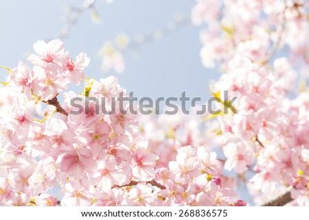 Cherry, flowers, background, - stock photo