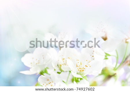 Cherry flowers background - stock photo