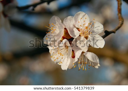 Cherry flowers close up.
