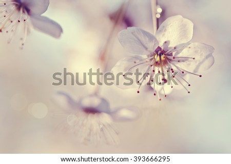 Cherry flowers in a sunlight in the spring. - stock photo