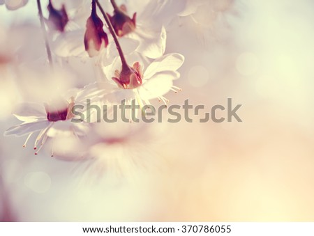 Cherry flowers in a sunlight on a spring day - stock photo