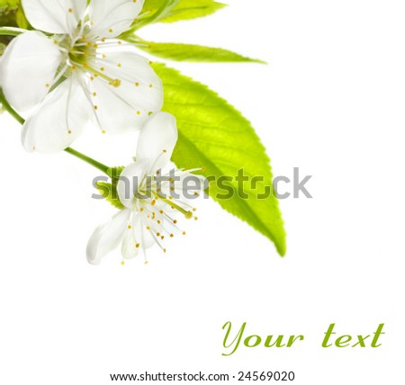Cherry Flowers isolated over white
