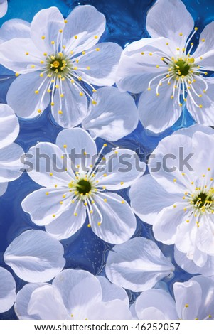 Cherry flowers, on blue background - stock photo