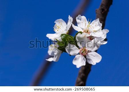 Cherry flowers on blue sky background - stock photo