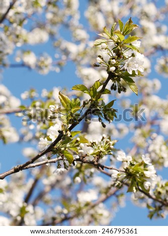 cherry flowers on the branch - stock photo