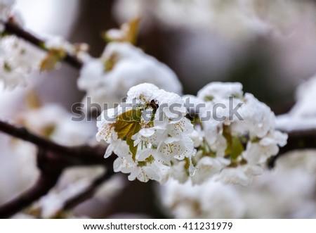 Cherry flowers under the snowfall - stock photo