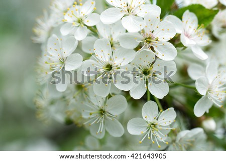 Cherry Flowers with water drops