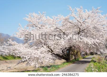 Cherry full bloom - stock photo
