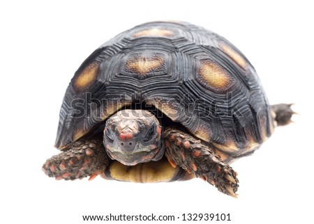 Cherry head red foot tortoise, Geochelone carbonaria, isolated on white.