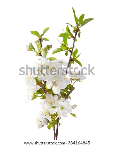 Cherry in blossom isolated on white.  Selective Focus.  - stock photo