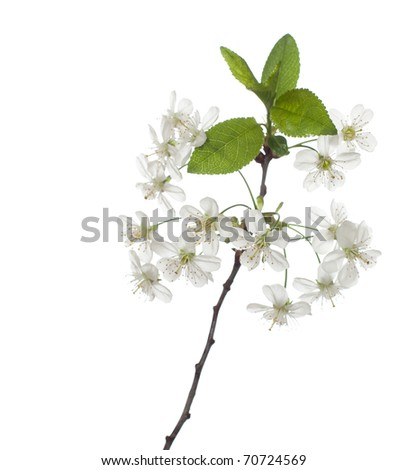 cherry in blossom isolated on white. very shallow depth of field - stock photo