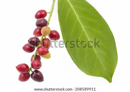 Cherry laurel (Prunus laurocerasus), fruits - stock photo