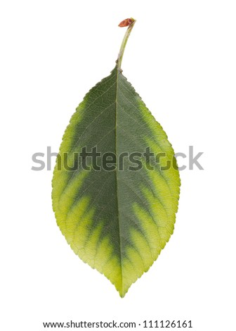 Cherry leaf. Isolated on white background