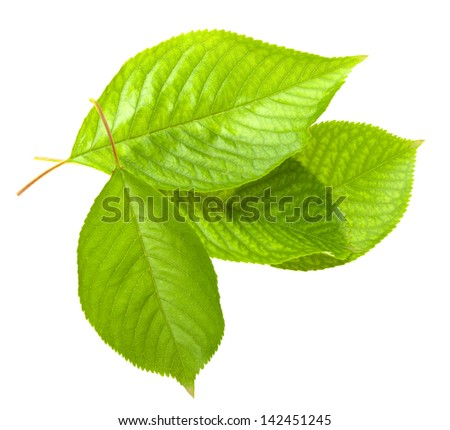 Cherry leafs isolated on white background