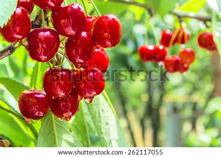 Cherry red berries on a tree branch with water drops after summer rain. The background is blurred - stock photo