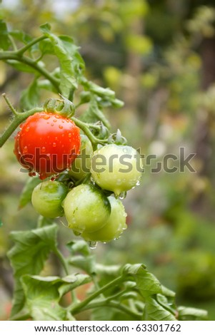 Cherry tomatoes after rain growing in garden, - stock photo