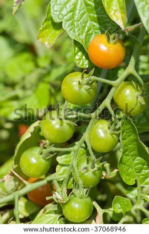 cherry tomatoes green on the vine - stock photo
