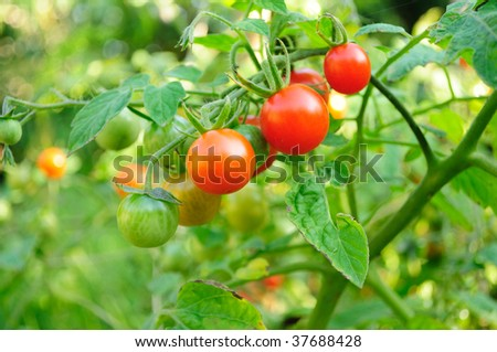 Cherry tomatoes growing on the vine. - stock photo