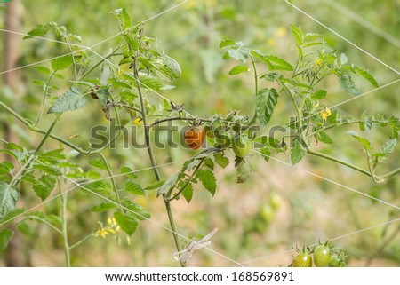 Cherry tomatoes in a garden - stock photo