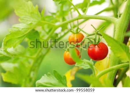 Cherry tomatoes in a garden (shallow dof) - stock photo