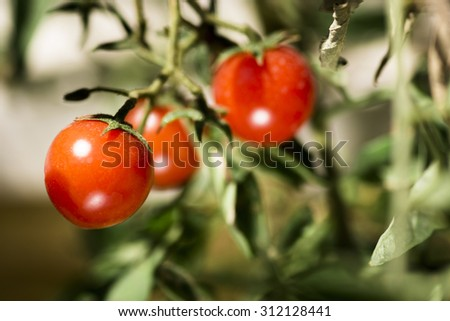 Cherry tomatoes in the branch close up shot.