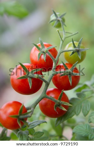 Cherry tomatoes ripening naturally on the vine.