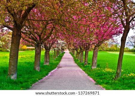 Cherry tree alley with red blossoms